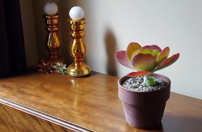 Paddle Plant Tanaman Hias Indoor Dan Outdoor