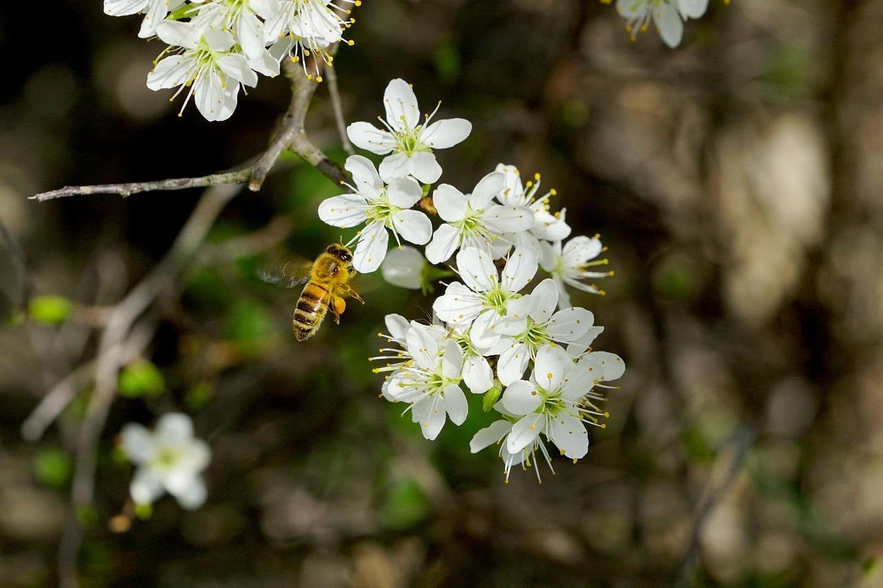 صورة نحلة صغيرة تجمع الرحيق من زهرة بيضاء - اجمل واحلى صور الطبيعة الجميلة والخلابة في العالم