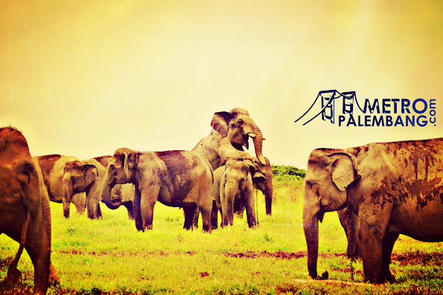 wisata padang sugihan gajah sumatera