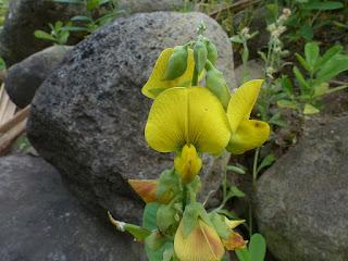 Cascavelle jaune - Pois-rond-marron - Herbe-tapage - Crotalaria retusa - Crotalaire