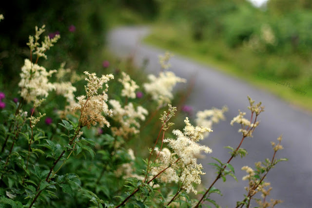 meadowsweet plants on the side of the road
