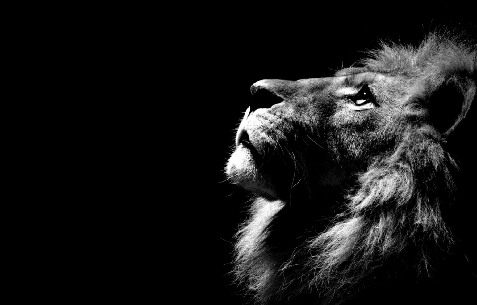 lion in the shadows hd wallpaper images new desktop