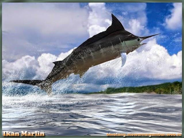 gambar ikan marlin