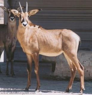 Antilope ruano
