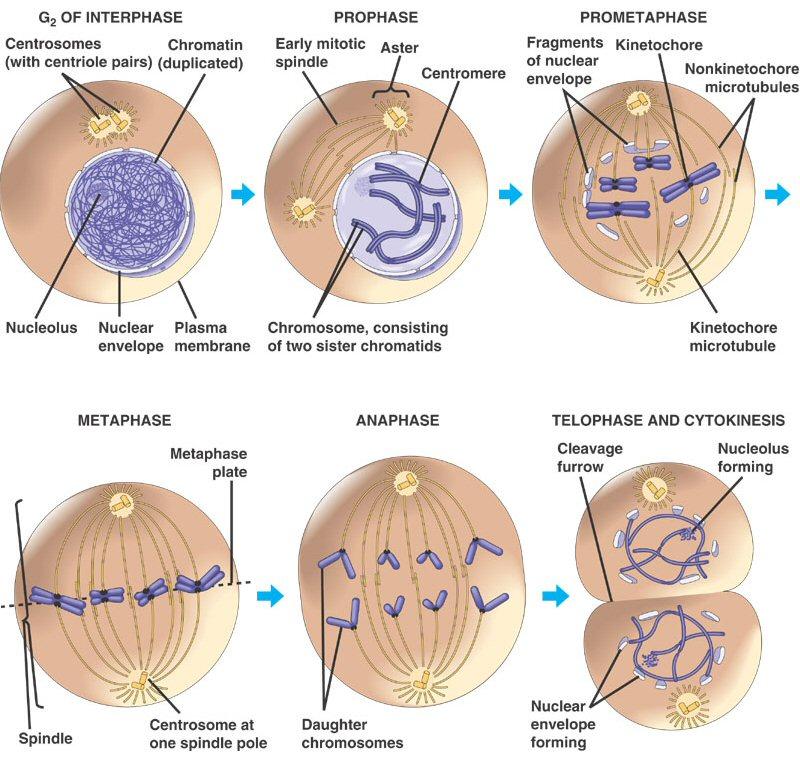 Restu Education Makalah Reproduksi Sel Mitosis Dan Meiosis