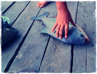Ciri-ciri Ikan Bawal