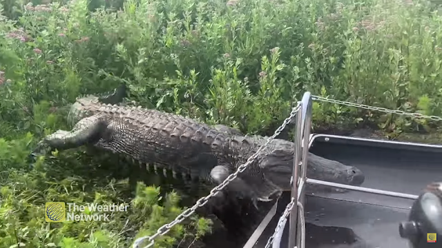 Alligator suddenly jumps into a tourist boat | Florida | XIT4U.com | Nature | YouTube Video