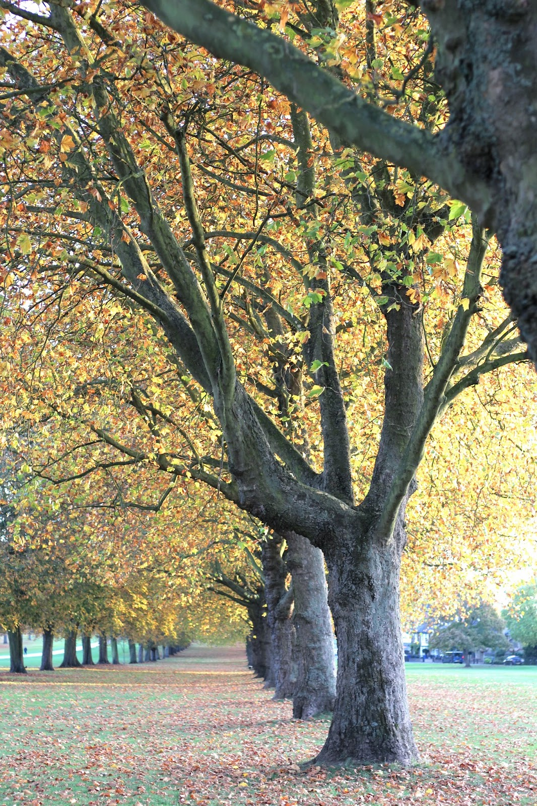 Beautiful yellow and orange autumnal leaves on trees and ground