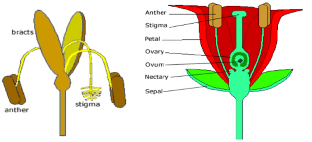 Igcse biology 33 describe the structures of an insect pollinated 33 describe the structures of an insect pollinated and a wind pollinated flower and explain how each is adapted for pollination ccuart Image collections