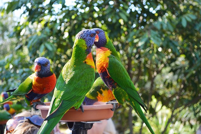 Mengapa Burung Beo Selalu Menirukan Suara