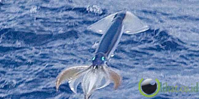 Cumi-cumi terbang (Flying squid)