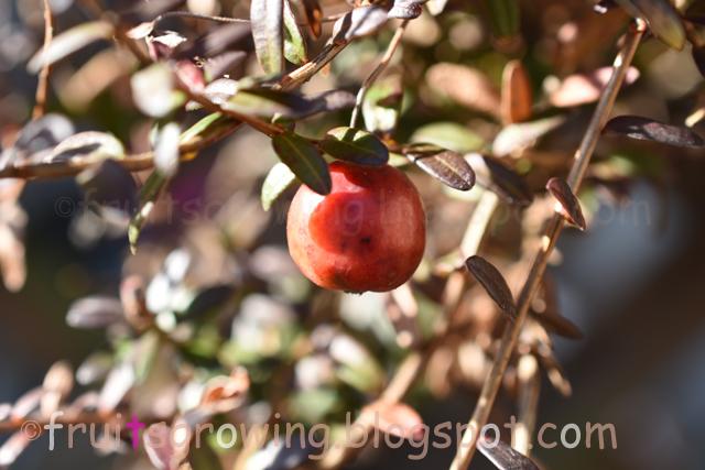 クランベリーの収穫時期
