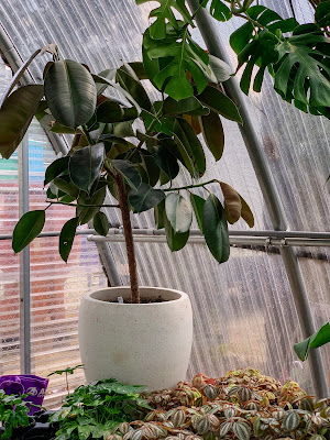 Ficus Elastica at Tillery Street Plant Co.