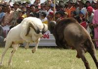 Dalam bidang peternakan banyak sekali macam binatang yang sanggup diternakakkan Kabar Terbaru- MENGENAL DOMBA LEBIH DEKAT