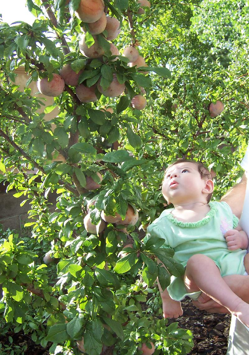 Here S A Dle Dandy Pluot Tree And Lia