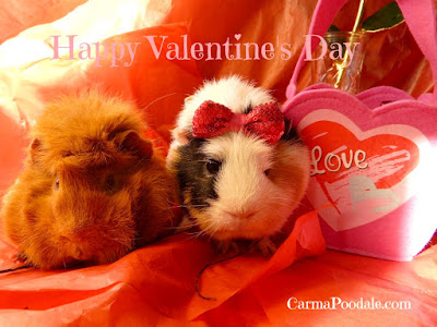 The guinea pigs are each other Valentines