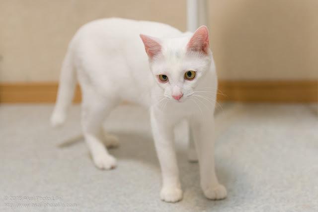 猫カフェ 西国分寺シェルターにいた白猫が紐に興味を示した時の写真