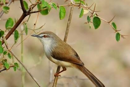 3 Jenis Burung Ciblek Yang Sering Tampil Di Kontes