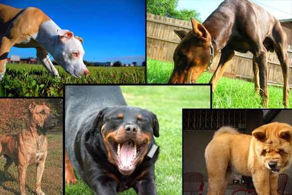 اشرس 10 كلاب فى العالم بالصور