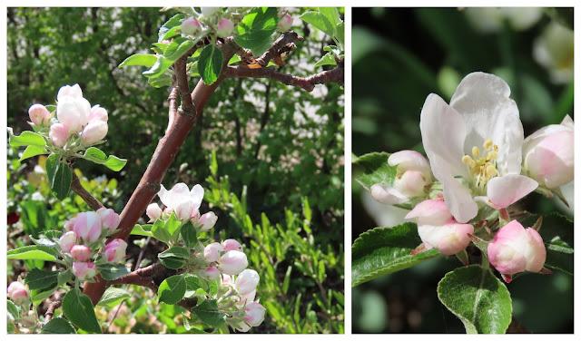 Kom mai, du skjønne milde  - kollasj av blomstrende epletre (92)-min