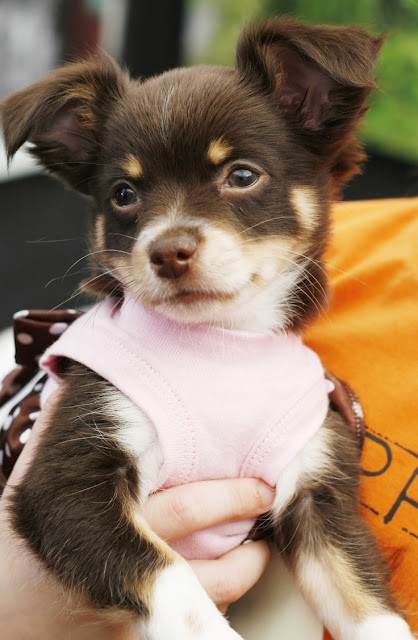 A cute little Chihuahua puppy is held in her owner's arms