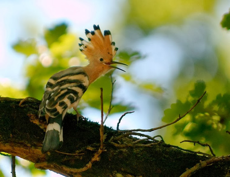 The Hoopoe wallpapers
