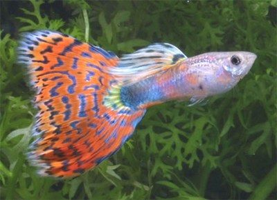 Gambar Ikan Guppy Mosaic - Old Fashion Red Mosaic