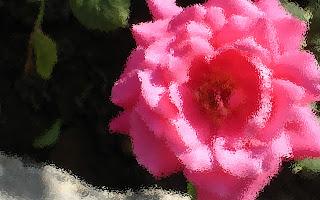pink rose hd wallpaper 1920x1200