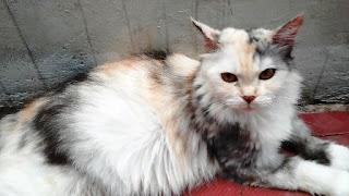 Ciri-ciri Kucing Hamil dan Tanda Kucing Akan Melahirkan