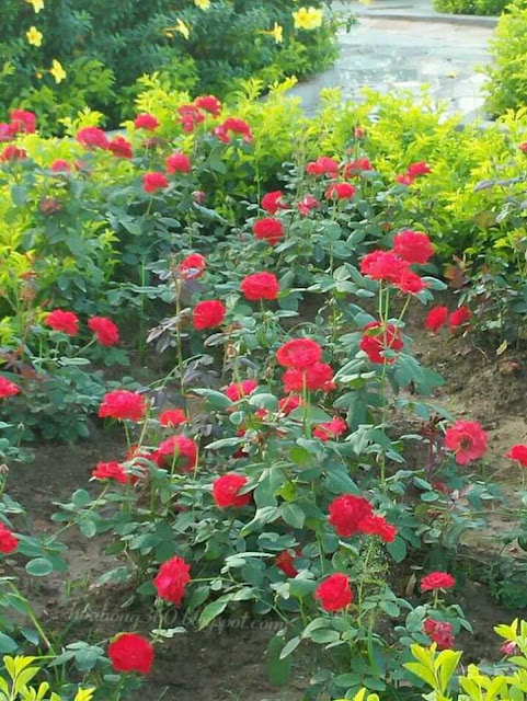 hoa hồng tố nữ làm cây công trình trang trí cho công viên