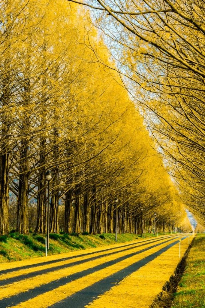 Gross Spread - Gingko Tree Highway, Japan