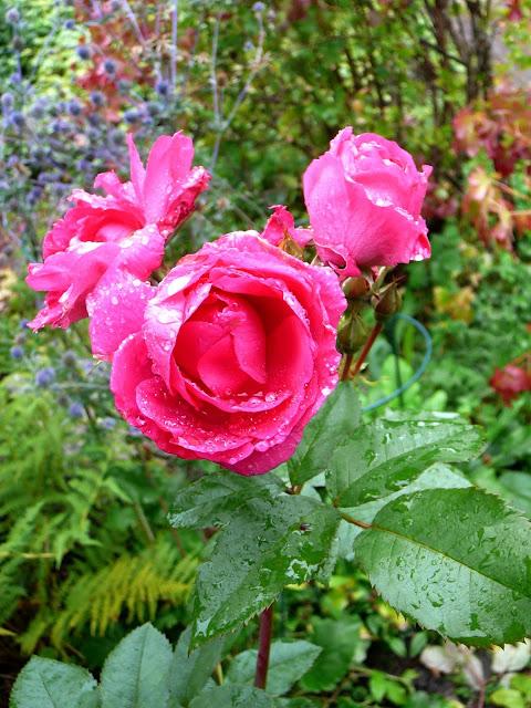 ruusu Morden Centennial kukkii