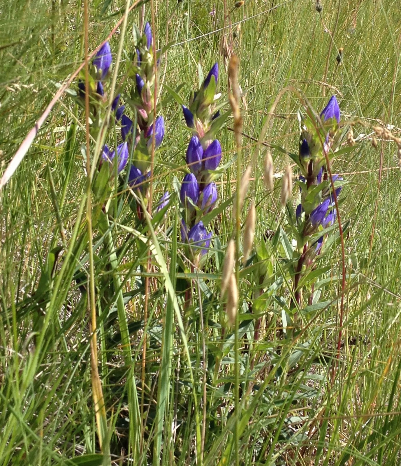 gentian works a bitter principle to promote digestion gentian is a god created wild plant met in the mountains god has provided us a healing dialog with