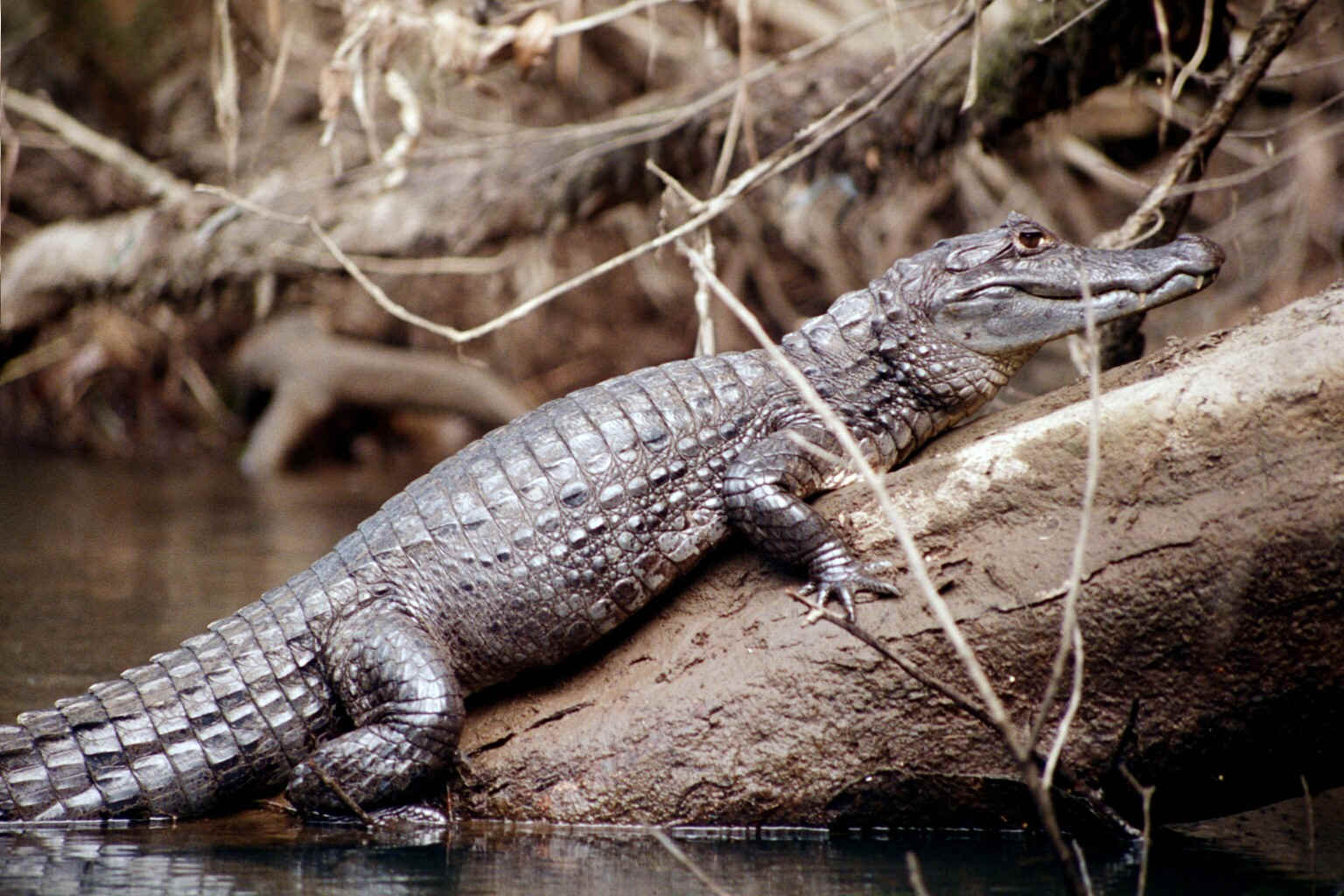 Caiman Facts Info And New Photos The Wildlife