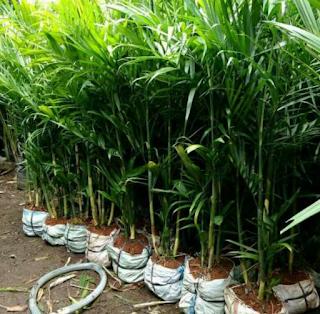 Tanaman Palm Komodoria