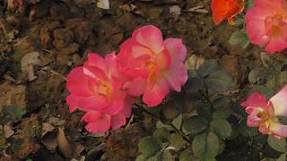 Rose Flower in National Rose Garden Delhi 2072