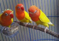 Jenis Dari Burung Lovebird Parblue