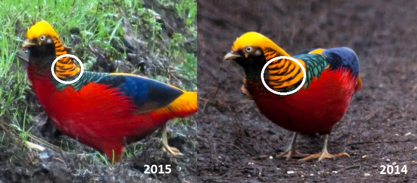 Pixie Birding  The Golden Pheasant of the Wolferton Triangle   an     Golden Pheasant   Wolferton Triangle  Norfolk
