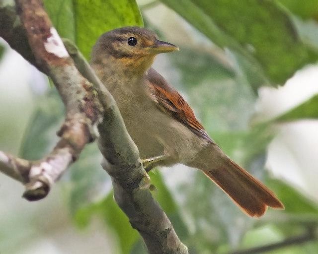 Limpa-Folha-de-Asa-Castanha (Philydor erythrocercus)