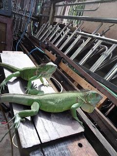 Perbedaan Iguana & Bunglon