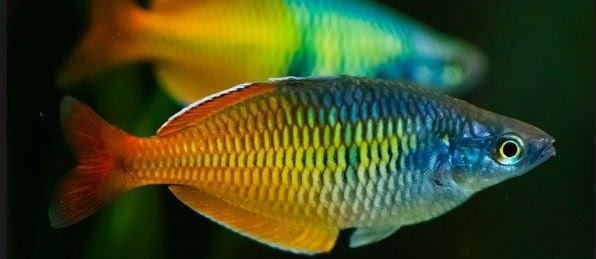 Jenis Jensi Ikan Rainbow Fish Terbaru dan Terlengkap