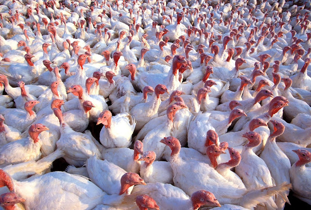 Flock of White Turkeys, Crowded Together