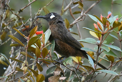 White-eared Myza (Myza sarasinorum)