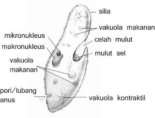 gambar paramecium