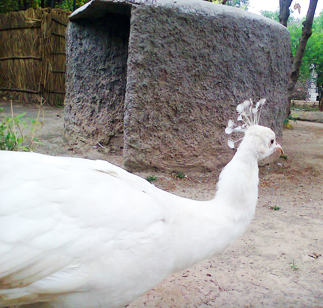 White Peacock at Chattbir zoo, Chandigarh