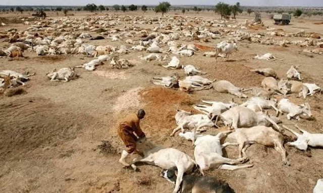 Fulani Community in Ghana killed a lot of human beings BUT wants compensation for over 1500 killed cattle