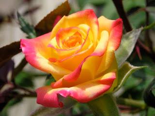 mawar kuning oranye23