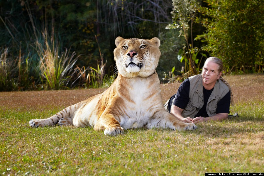 Hercules is the World's Largest Living Cat