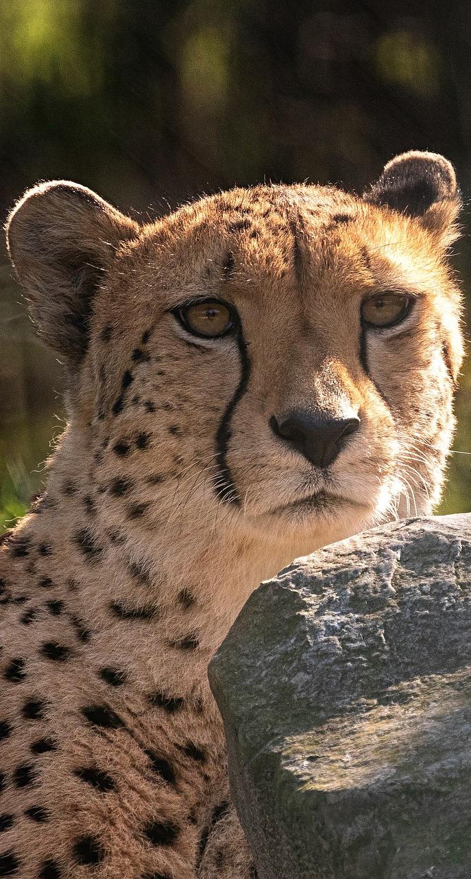 A photo of a cheetah.