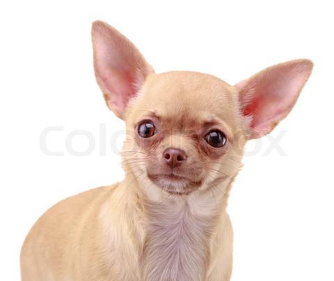 Cute Dogs: Cute Chihua...